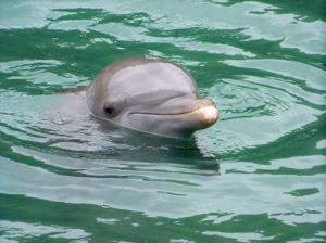 Venus - an amazing Dolphin @ Dolphin Discovery in Tortola