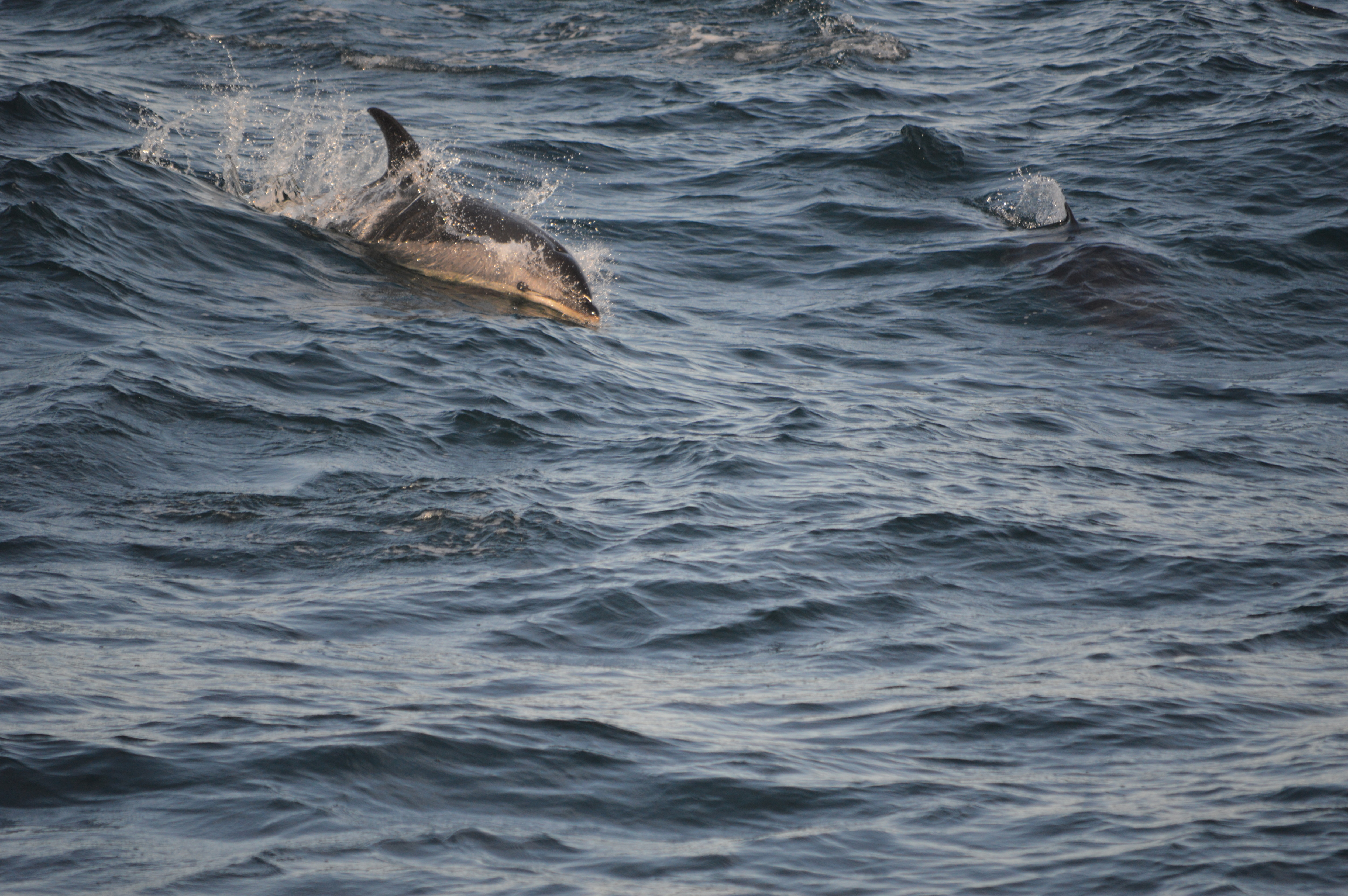 Atlantic White Sided Dolphins | Pure Fin Pod Blog