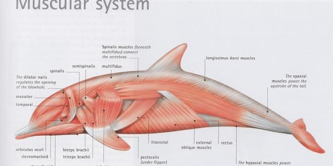 Dolphin Anatomy | Pure Fin Pod Blog